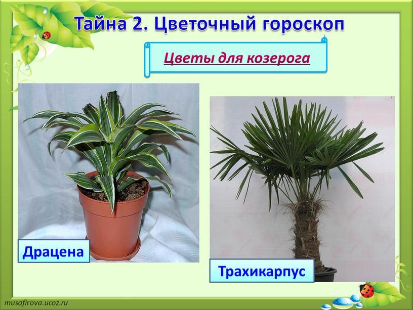 Драцена Цветы для козерога Трахикарпус