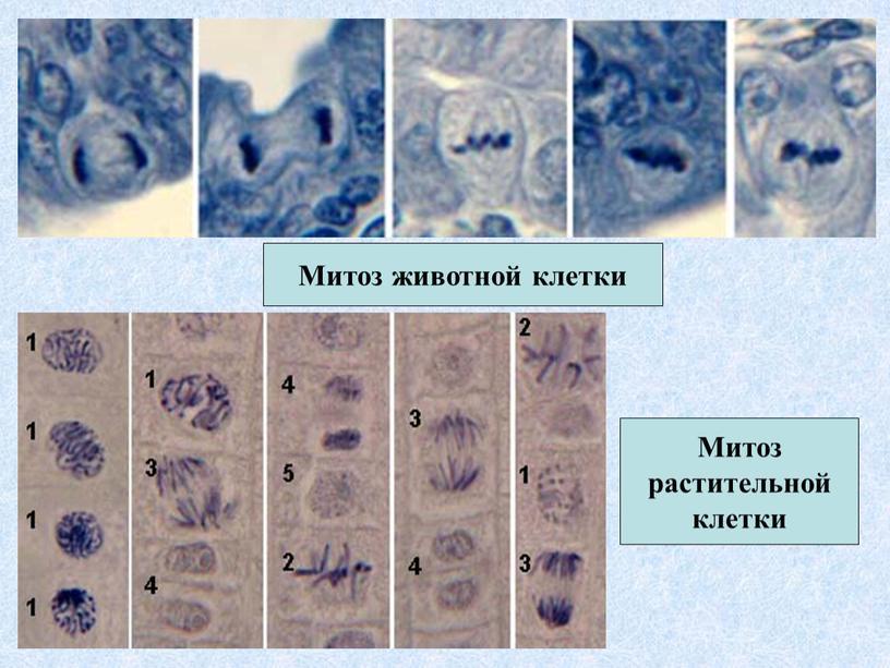 Митоз животной клетки Митоз растительной клетки