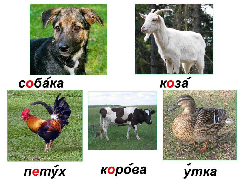 утка петух собака корова коза