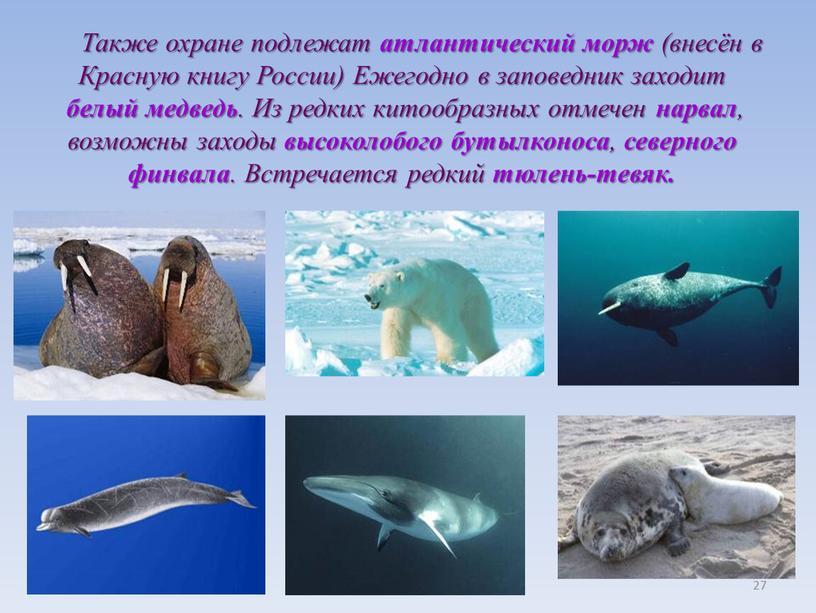 Также охране подлежат атлантический морж (внесён в