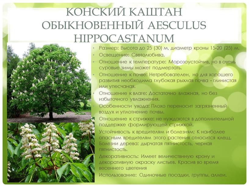 Конский каштан обыкновенный Aesculus hippocastanum