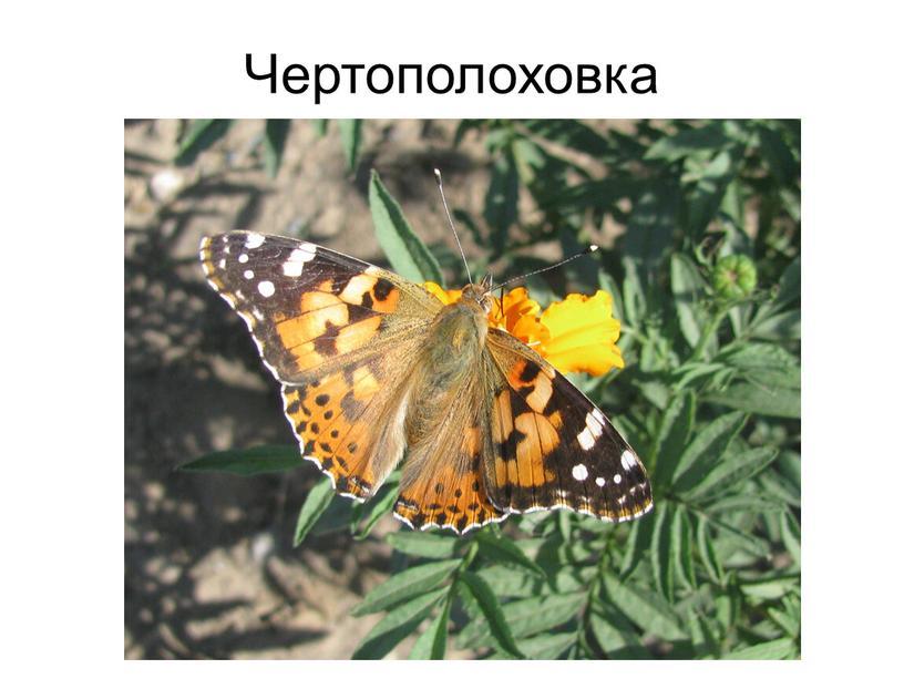 Чертополоховка