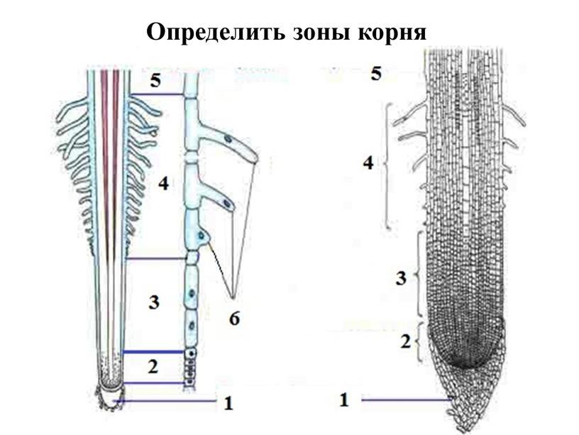 Определить зоны корня