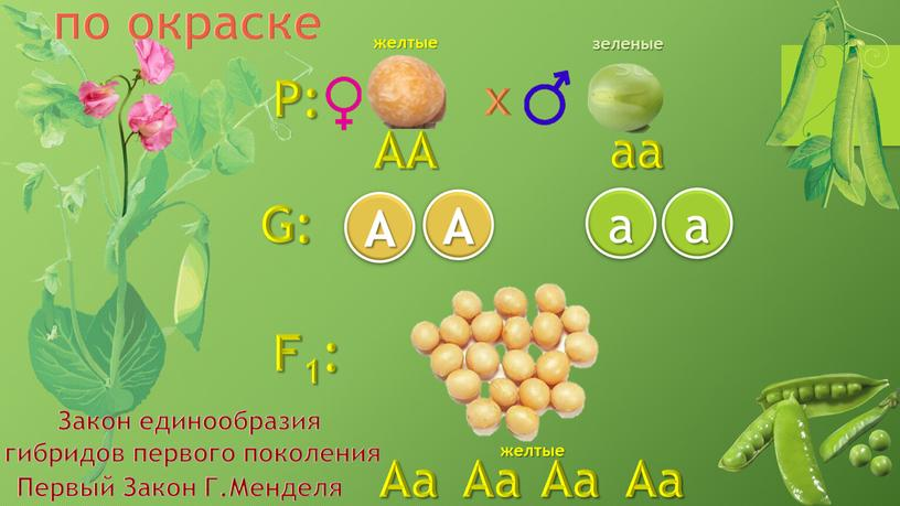 P: F1: G: a AA aa Aa A A a желтые зеленые желтые