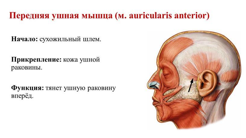 Передняя ушная мышца (м. auricularis anterior)