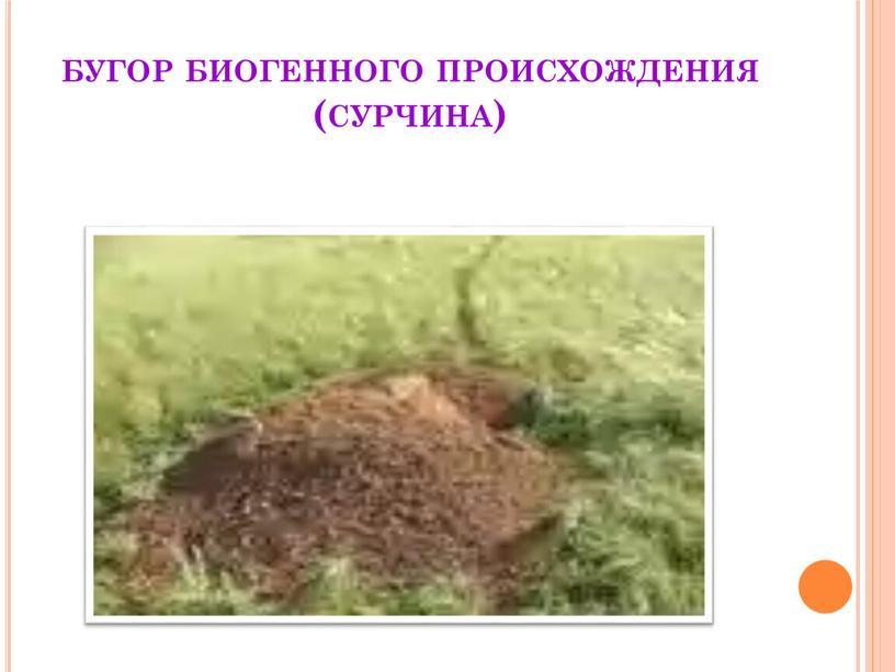 бугор биогенного происхождения (сурчина)