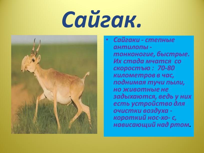 Сайгак. Сайгаки - степные антилопы - тонконогие, быстрые