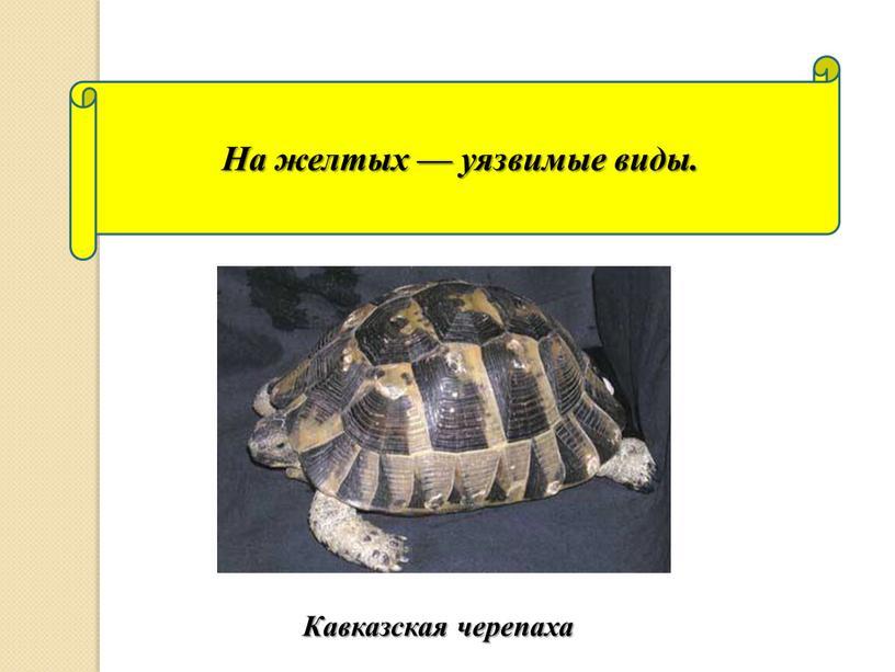 На желтых — уязвимые виды. Кавказская черепаха