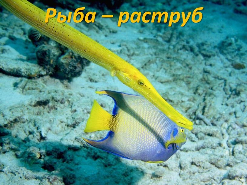 Рыба – раструб
