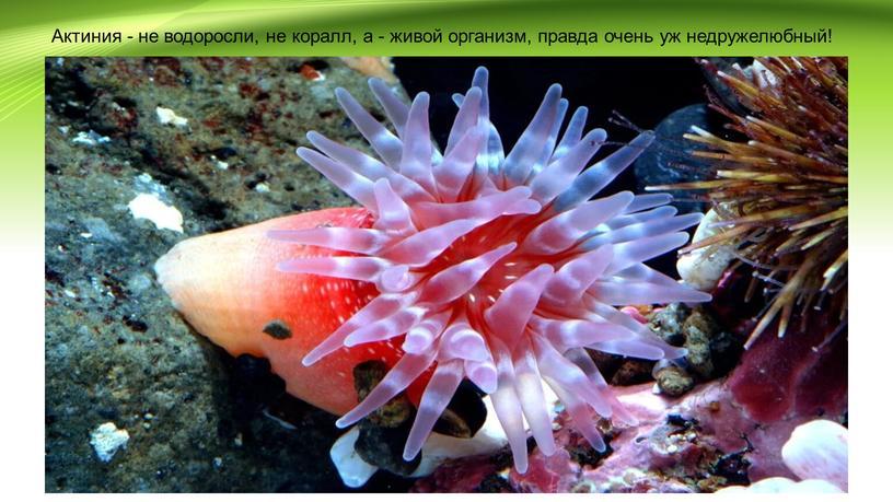 Актиния - не водоросли, не коралл, а - живой организм, правда очень уж недружелюбный!