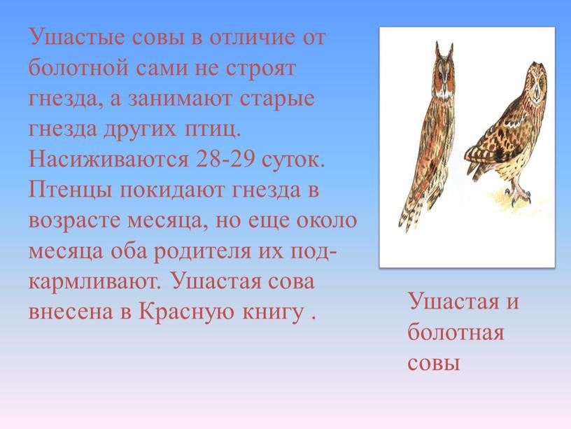 Ушастые совы в отличие от болотной сами не строят гнезда, а занимают старые гнезда других птиц