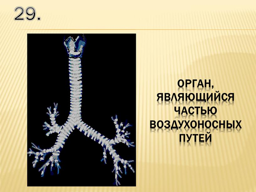 29. орган, являющийся частью воздухоносных путей