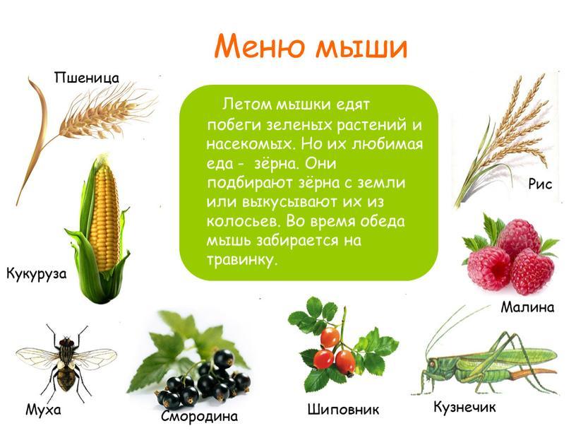 Меню мыши Летом мышки едят побеги зеленых растений и насекомых