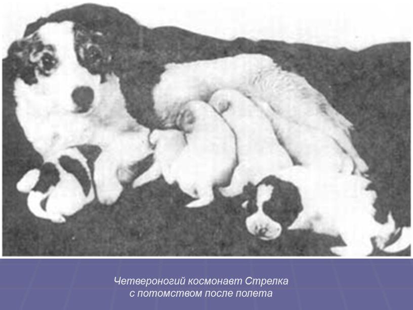Четвероногий космонавт Стрелка с потомством после полета