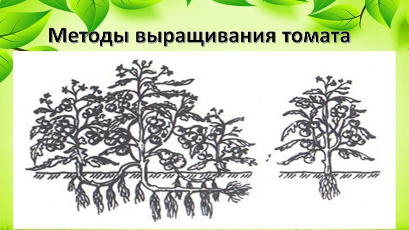Методы выращивания томата