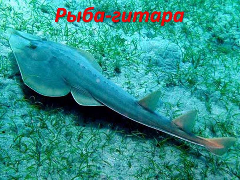 Рыба-гитара