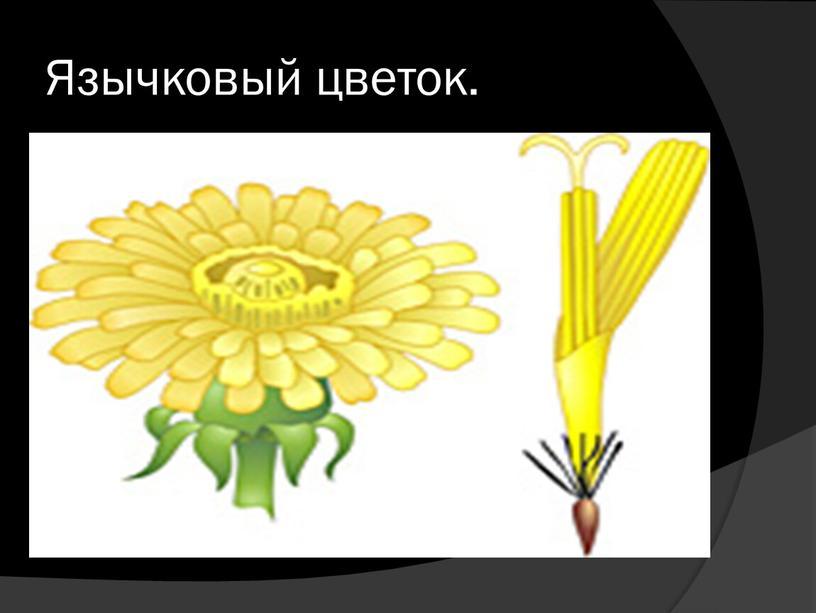 Язычковый цветок.