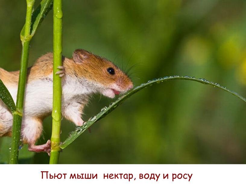 Пьют мыши нектар, воду и росу