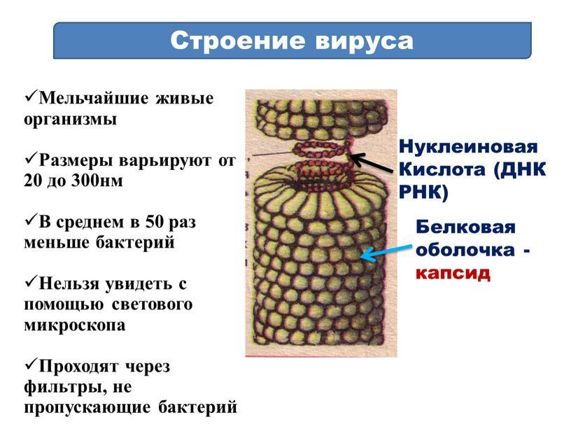 Строение вируса Мельчайшие живые организмы