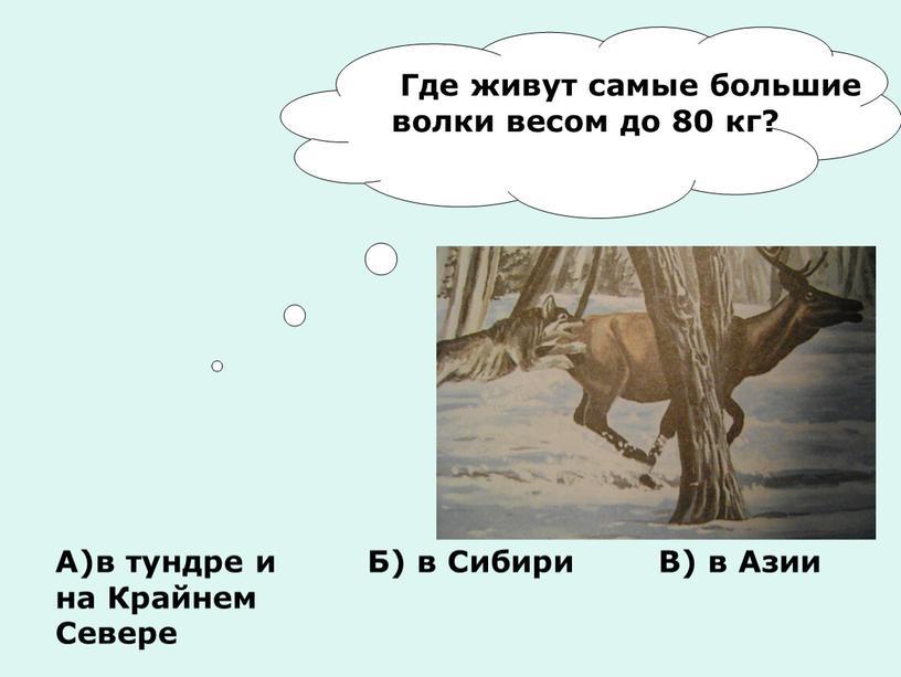 Где живут самые большие волки весом до 80 кг?
