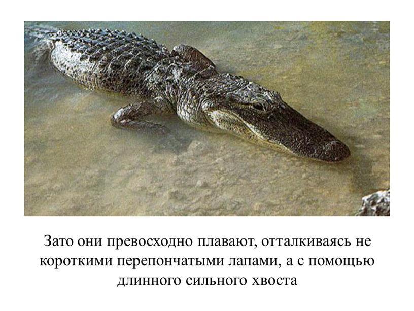 Зато они превосходно плавают, отталкиваясь не короткими перепончатыми лапами, а с помощью длинного сильного хвоста