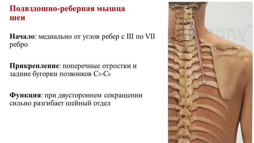 Подвздошно-реберная мышца шеи Начало : медиально от углов ребер с