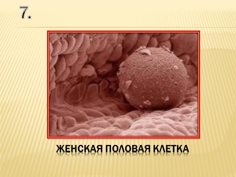 7. женская половая клетка