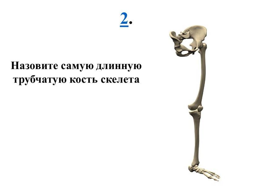 Назовите самую длинную трубчатую кость скелета