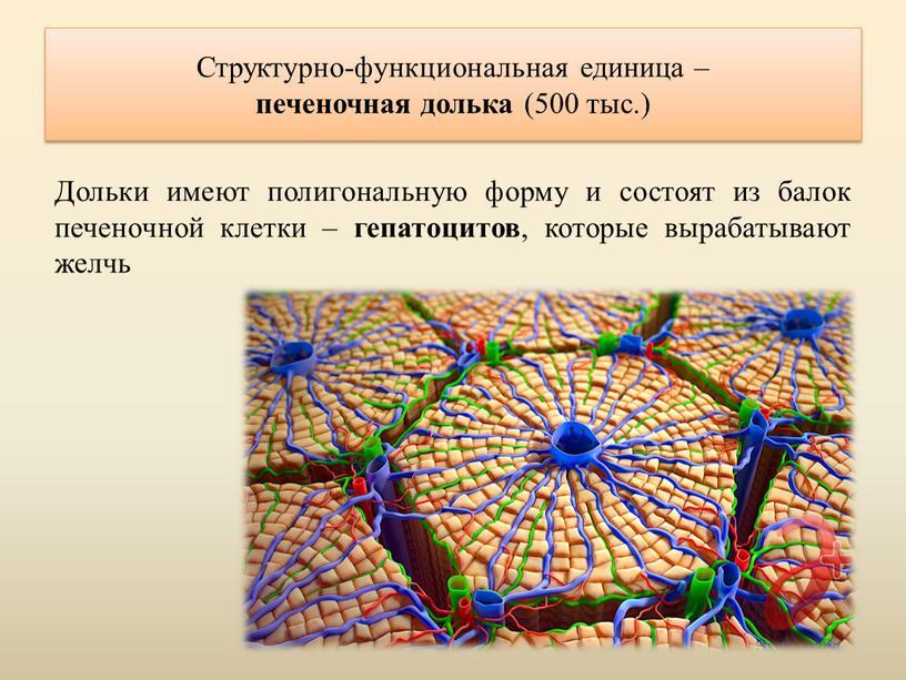Структурно-функциональная единица – печеночная долька (500 тыс
