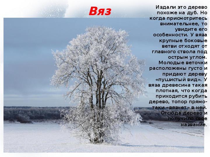 """Презентация """"Учимся различать деревья и кустарники зимой"""" (1 класс, окружающий мир)"""