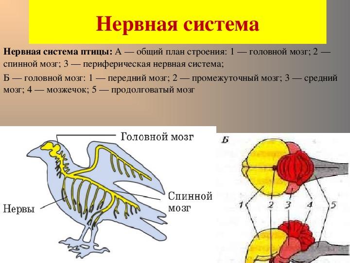 Система головного мозга у птицы картинки