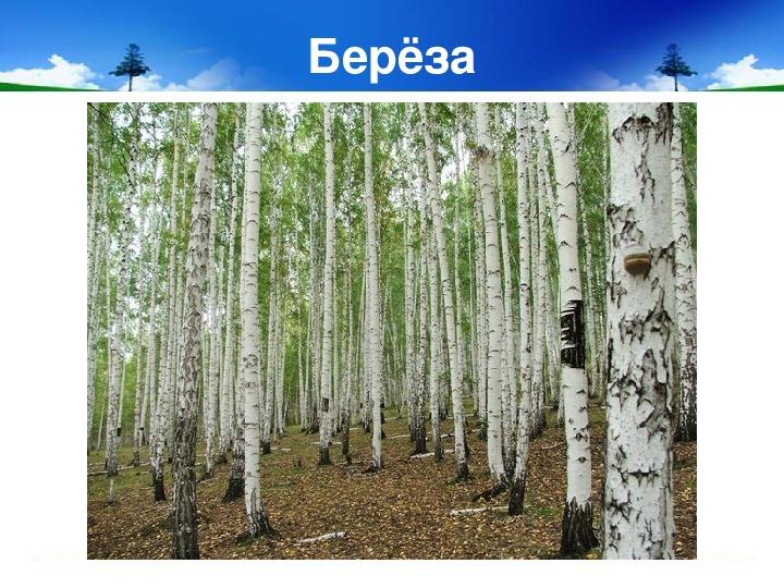 Научно - исследовательская работа с учениками 2 класса по теме «Обними дерево».