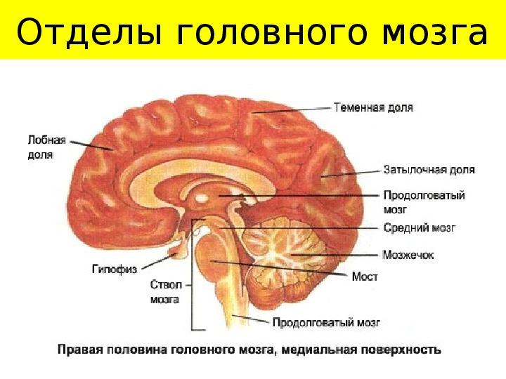 "Презентация по биологии на тему ""Нервная система"" (9 класс)"