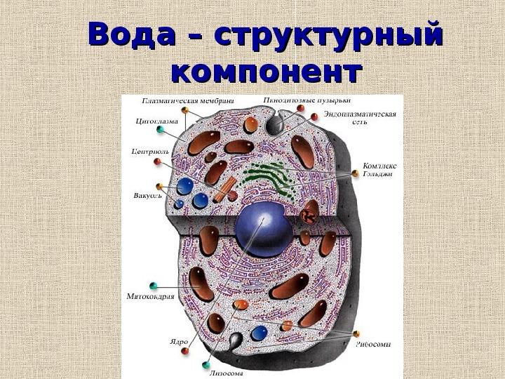 """Презентация на тему: """"Значение воды в живой клетке""""."""