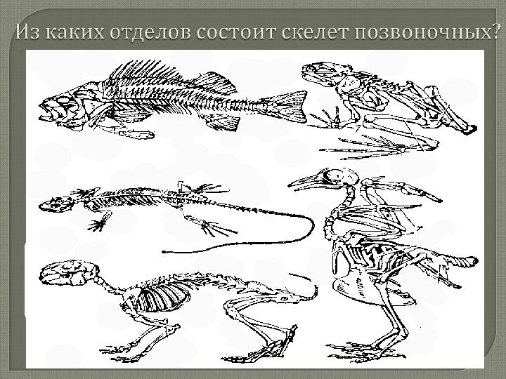 """Презентация по биологии на тему """"Скелет - опора организма"""" (6 класс, биология)"""