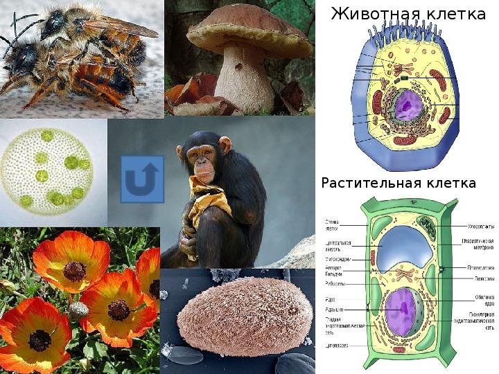 Презентация  к уроку биологии в 6 классе на тему « Бактерии, как древнейшая группа живых организмов»