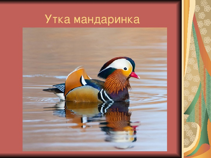 "Презентация ""Утка мандаринка"" (7 класс, экология)"