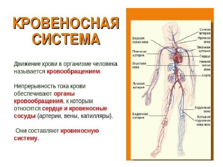 Интегрированный урок биологии и ОБЖ в 5 классе по теме: «Первая помощь при кровотечениях»