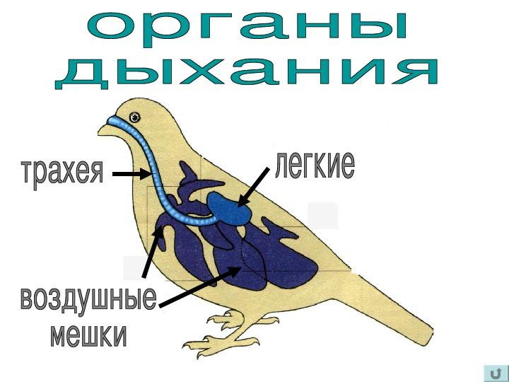 Картинка внутреннего строения птицы первой