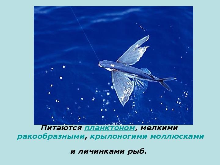 """Презентация по окружающему миру """"Летающие рыбы"""""""