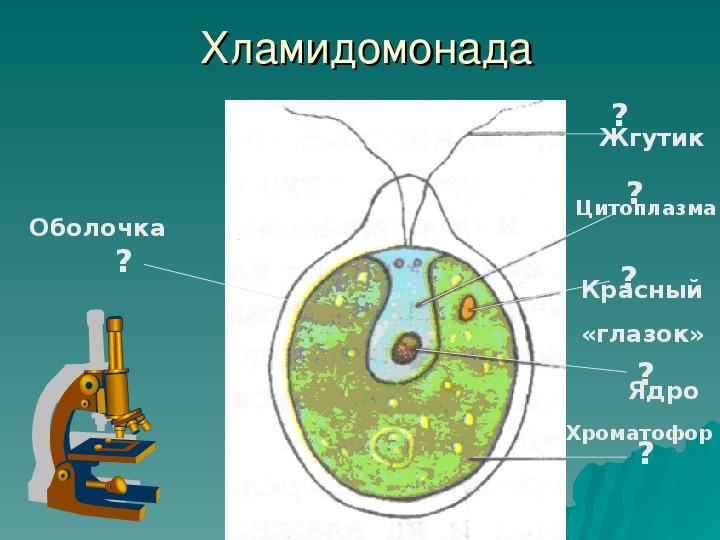 """Презентация """"Отделы водорослей"""""""