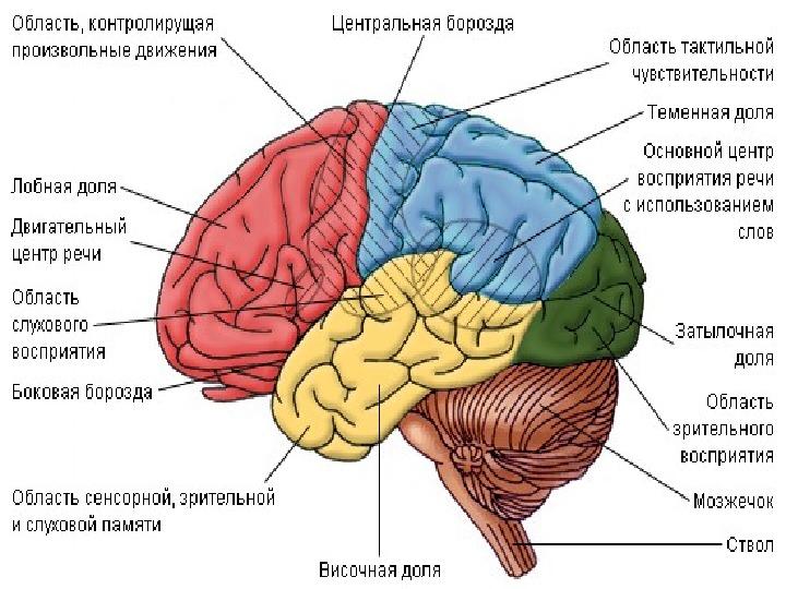 "Презентация к уроку ""Мозг"""