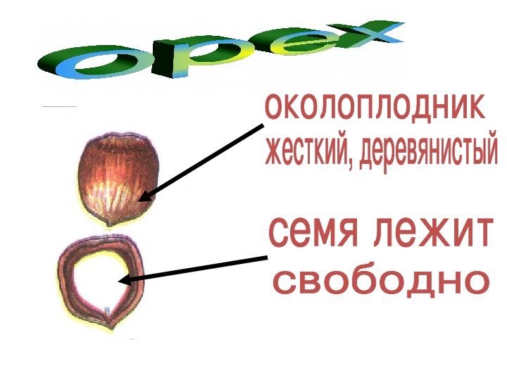"""Презентация """"Плоды"""" 6 класс"""