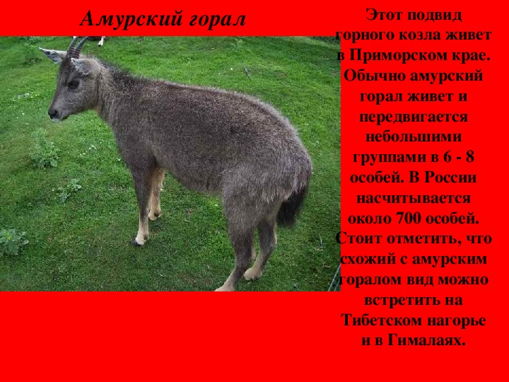 """Презентация """"Редкие и  исчезающие животные России"""""""