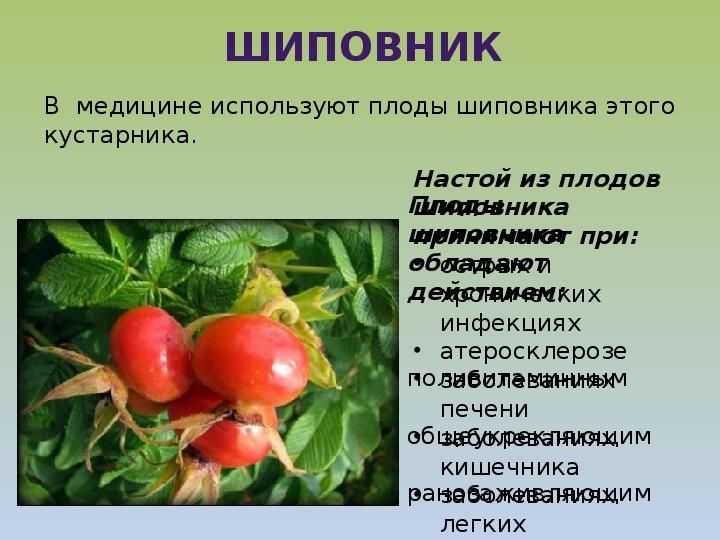 """Презентация по окружающему миру на тему """"Растения в домашней аптечке"""" ( 2 класс, окружающий мир)"""