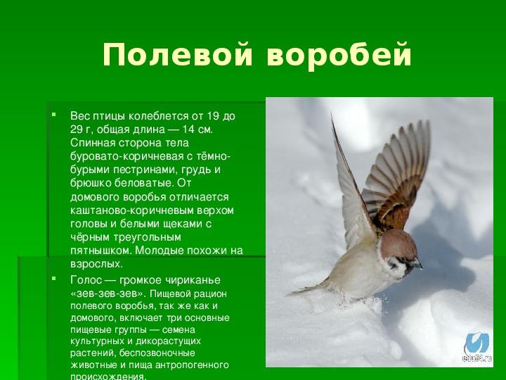 Вес воробья птицы