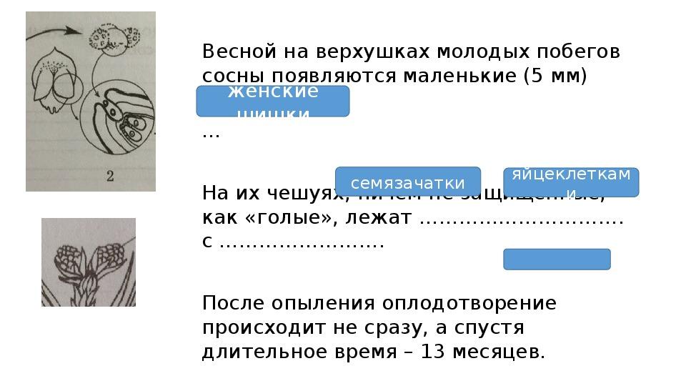 """Презентация по теме """"Голосеменные растения"""" (биология, 6 класс)"""