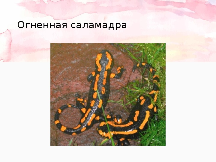 """Презентация на тему: """"Земноводные"""""""