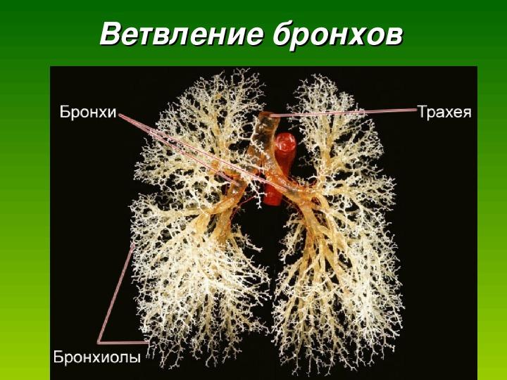 """Презентация к творческой работе учащегося по теме: """"Характеристика дыхательной системы человека"""""""