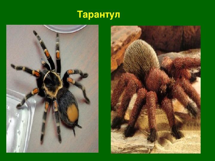 Презентация по биологии на тему: «Многообразие и значение паукообразных» ( 7 класс, биология)